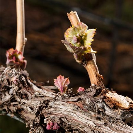 In the beginning, there is bud break.