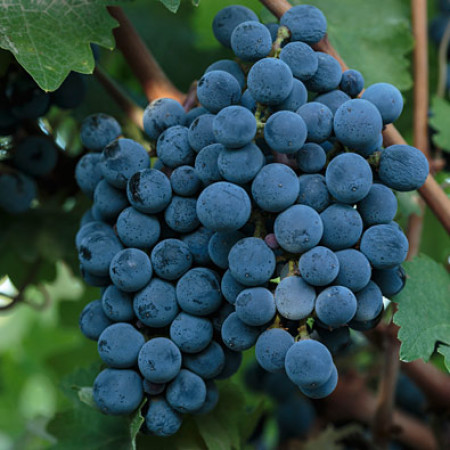 Grapes of World Class Wine