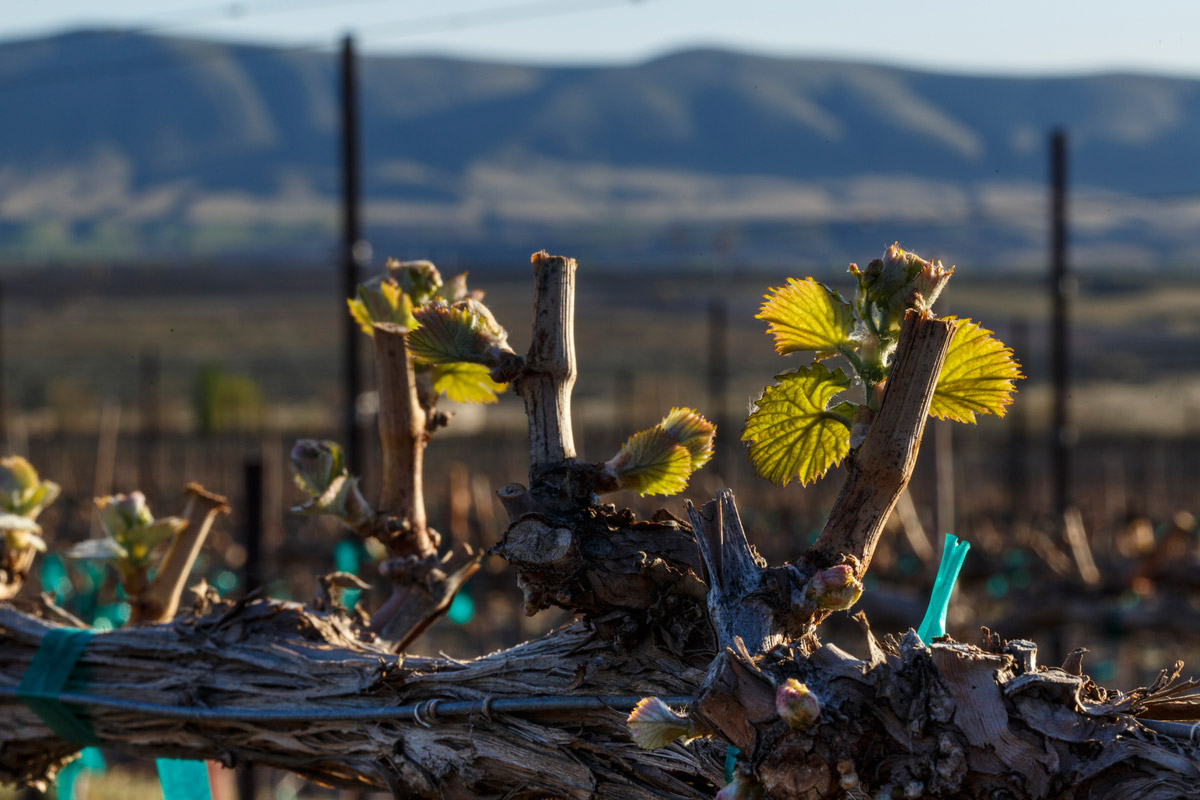 Obelisco Vineyard - Malbec Bud Break