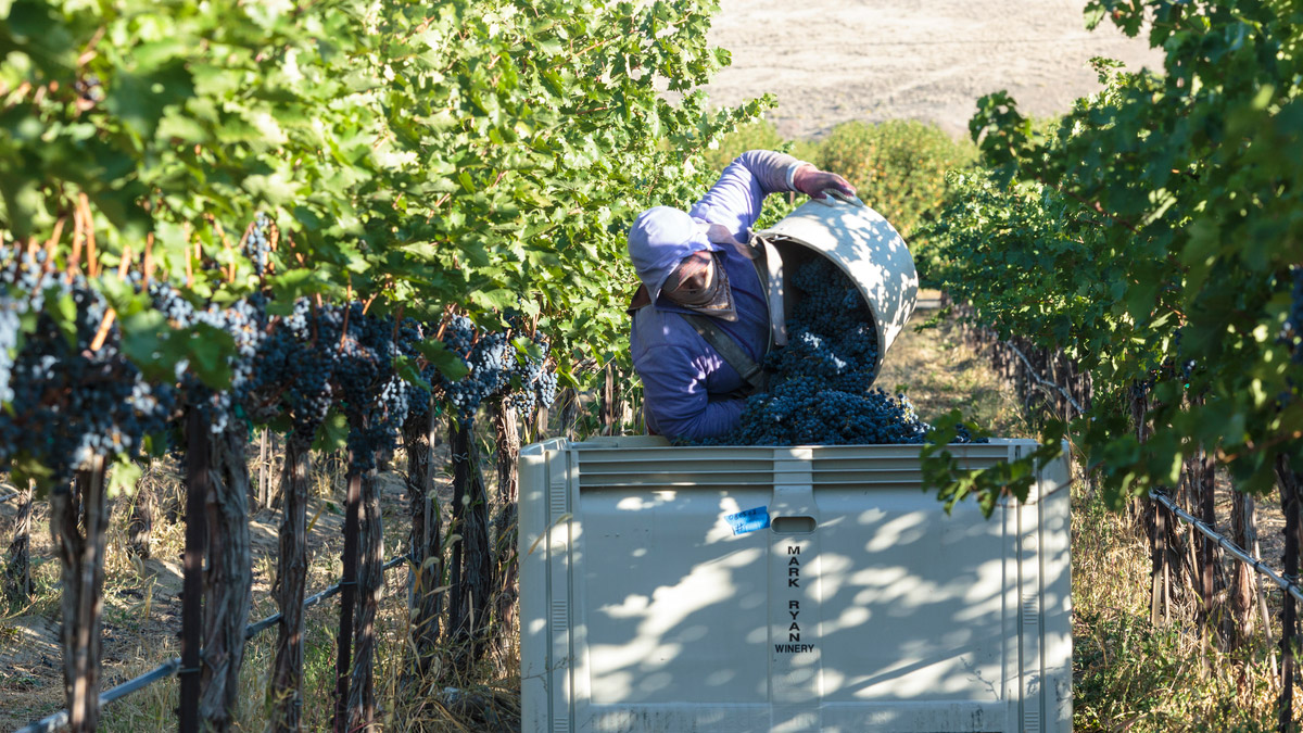 Obelisco Vineyard Harvest 2014