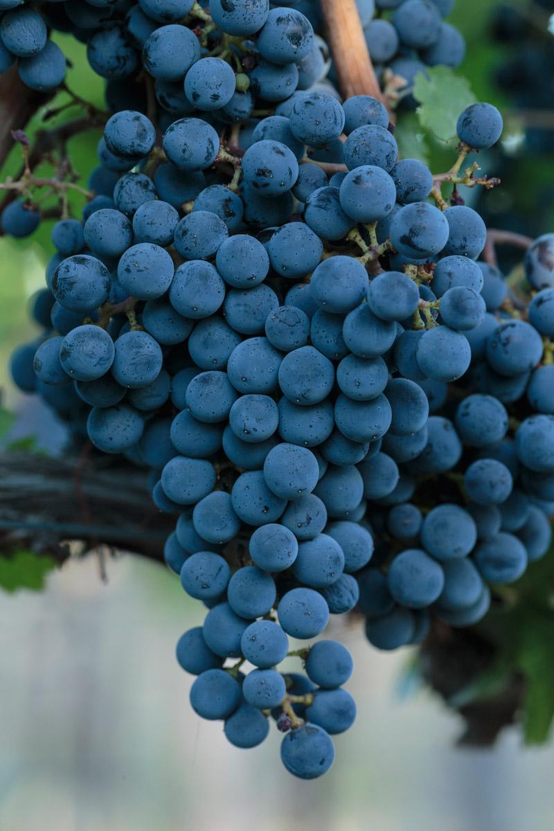 Obelisco Grapes