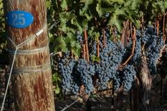 Obelisco Vineyard Harvest 2014